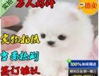 出售纯种哈多利博美幼犬,健康活泼 签订质保协议
