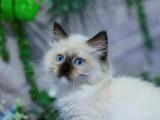 出售纯种家养暹罗猫 疫苗齐包健康 全国包邮