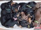 优质杜宾犬 农家养殖 质优价廉保健康