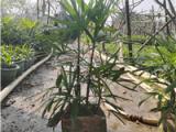 南京求购大叶棕竹