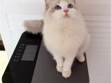 江西南昌纯种布偶幼猫放心购买
