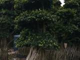提根榕造型榕造型榕树景观树行路树 树桩榕树盆景 微型榕树盆景