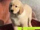 哪里有纯种金毛犬、健康终身保障、签协议送狗用品