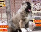 哪里有纯种的高加索犬 高加索成年多大 高加索凶猛吗