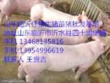 山东仔猪苗猪供应山东小猪批发产地旅游三元仔猪信息临沂