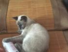 5个月大纯种暹罗猫针全打外送三层猫别墅猫粮洗浴和猫屋