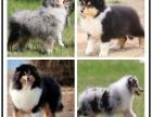 本地犬舍出售纯种苏格兰牧羊犬 双血统带证书