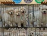 佛山顺德哪里有卖金毛犬 顺德乐从纯种金毛多少钱一只