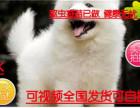 犬舍直销萨摩耶幼犬雪白无水锈骨骼粗毛量足