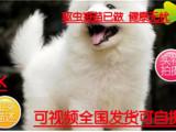 火热直销微笑天使萨摩耶幼犬雪白无水锈骨骼粗毛量足
