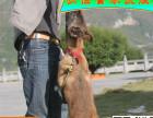 纯种马犬 疫苗驱虫齐全 包健康 质量保证