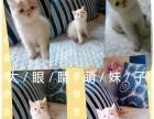 水滴眼,鼻眼一线,红白梵精品加菲猫,48天,看好的速来。