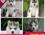 武汉哪里有卖纯种哈士奇犬/武汉专业正规养殖基地出售哈士奇犬