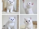 藍白純藍 正規貓舍 賽級后代 雙血 包子臉 大體格