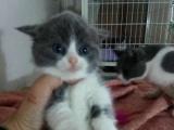 自家繁殖 英短蓝猫 蓝白 三花