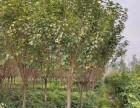 四川成都四川優質精品櫻花 庭院綠化 櫻花價格