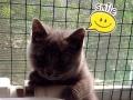 纯正血统,品质优,两个月兰猫宝宝活沷可爱,有喜欢的快来抱吧!
