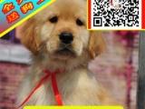 纯种金毛犬——真实拍摄 可上门挑选——终身售后三包