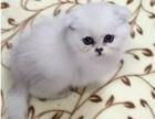 猫舍饲养布偶 加菲金吉拉 英美短
