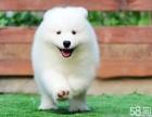 热销正宗澳版萨摩耶幼犬 自己繁殖好品相健康保证