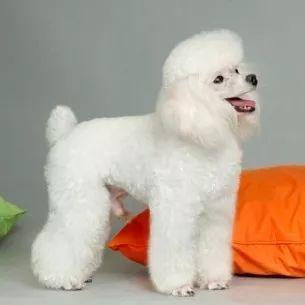 纯种贵宾犬专业养殖保健康 量大可优惠
