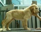 哈尔滨雪地狼族犬业双血统金毛幼犬出售