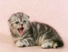 较大CFA认证猫舍自家繁殖纯种折耳猫 可上门 看父母