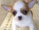 南京本地犬舍出售纯种幼犬,吉娃娃,保证健康,血统纯正,