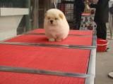 佛山松狮犬哪里买到 佛山松狮犬大毛量出售价格