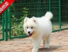 买纯种血统萨摩幼犬【签协议-保健康-保纯种】