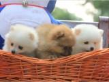 西安出售 纯种博美幼犬 疫苗齐全出售中 可签协议健康保障