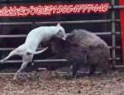 马犬好不好喂养,马犬怎么训练,一条马犬多少钱