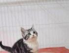 猫舍出售  银渐沉英短蓝猫包养活