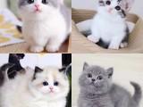 假期禮物的選擇藍白來了 漂亮好養獨立小貓咪 好養
