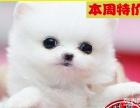 赛级 博美犬、优良品种、诚信交易【狗美价廉】可协议