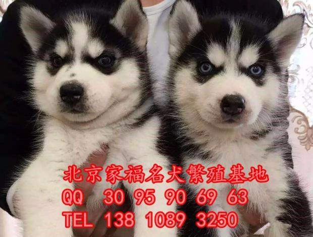 纯种哈士奇 三把火双蓝眼哈士奇 保健康签协议 北京家福犬业