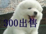 纯种微笑天使萨摩耶幼犬 双眼皮 毛量足 健康有保障