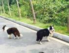 世界上智商最高的狗-边境牧羊犬-湘潭市