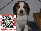 石家庄比格宠物狗出售转让 比格狗舍多少钱 买卖比格幼犬