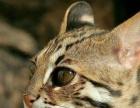 【米粒家的猫】英短 美短 加菲 折耳 豹猫