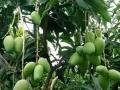 新鲜芒果进驻柳州啦!