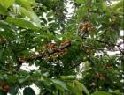 郑州樱桃采摘园在哪里?大樱桃采摘时间季节