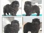 出售松狮犬松狮纯种松狮 美系肉嘴松狮品质保证