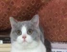 忍痛低价1200元转让3个月纯种英短小蓝猫一只