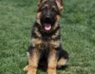 玉树纯种德国牧羊犬价格,玉树哪里能买到纯种德国牧羊犬