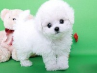广州犬舍直销比熊泰迪哈士奇拉布拉多萨摩博美等名犬,批发价出售