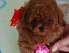 上海犬类智商仅次于边牧的小可爱 居家必备 纯种小泰迪