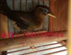 福建漳浦哪里有好的打苗画眉鸟