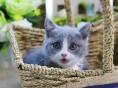 正规猫舍出售短毛猫 终身质保 可签协议 保障纯度和健康