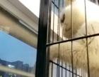 自家繁育的加菲猫宝宝